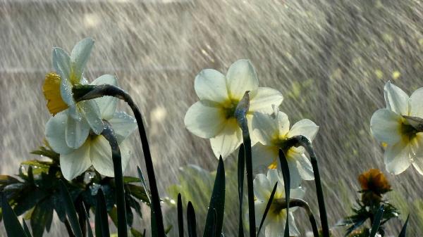Нарциси під дощем