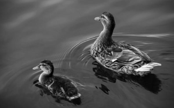 Качки на воді