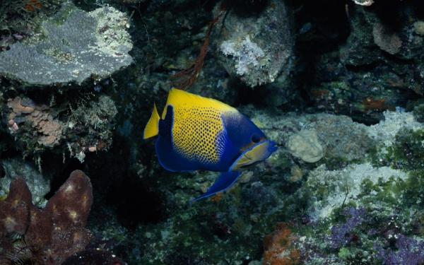 Патріотична рибка