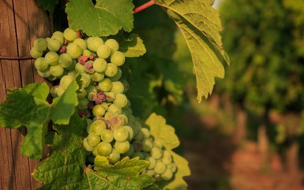 Гроно винограду