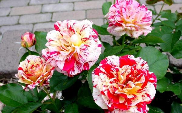 Шикарні троянди