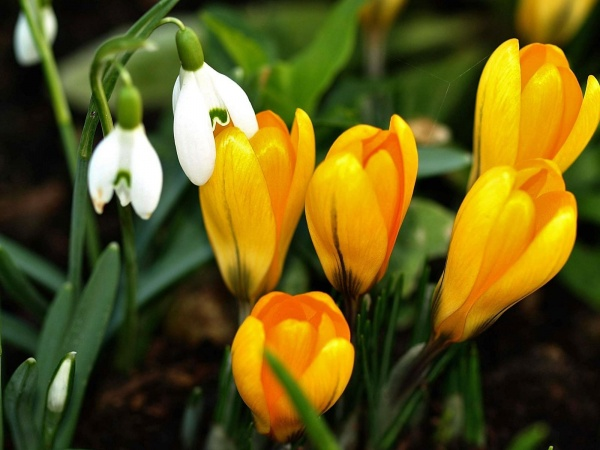 Галерея головна квіти весняні квіти