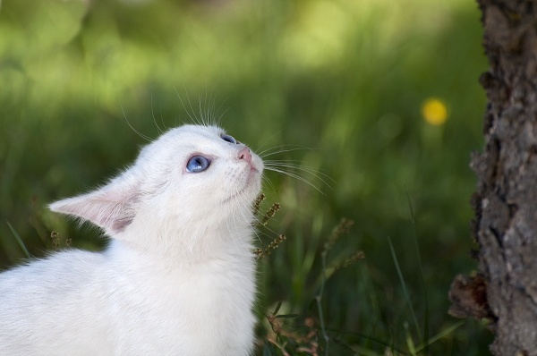 Біленьке кошеня
