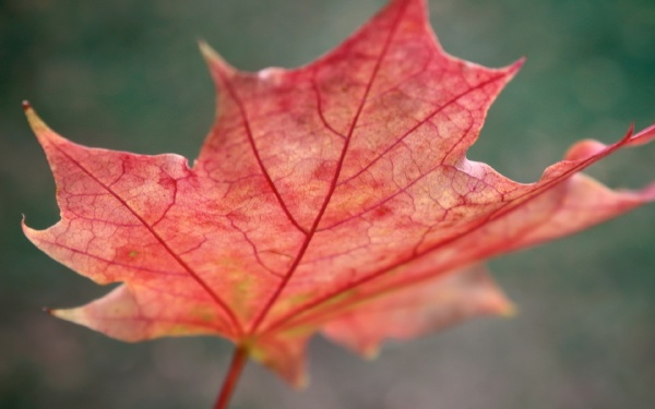 Кленовий лист