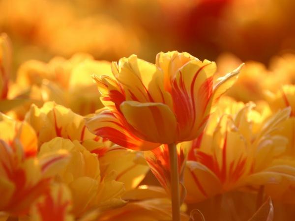 Красиві тюльпани