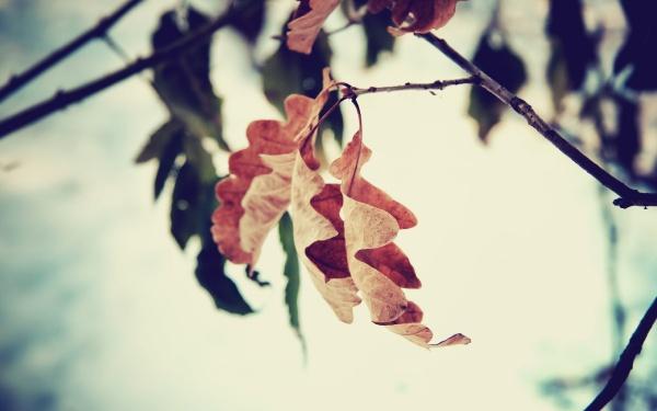 Дубові листочки