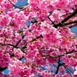 Цвіт яблуні