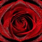 Червона ружа