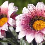 Ранкові квіти
