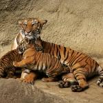 Сім'я тигрів