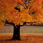 Осіннє дерево