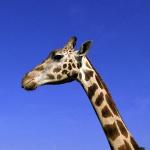 Жирафа