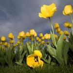 Жовті тюльпани