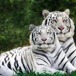 Сім'я білих тигрів